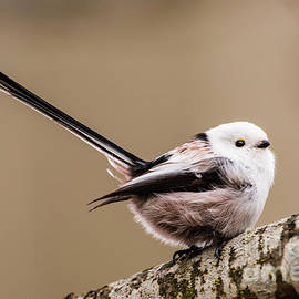 Torbjorn Swenelius - Long-tailed tit wag the tail