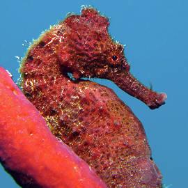 Longsnout Seahorse, St. Croix, U.s. Virgin Islands 7 by Pauline Walsh Jacobson