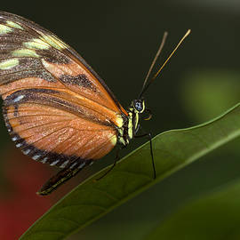 Longwing on a green leaf by Ruth Jolly