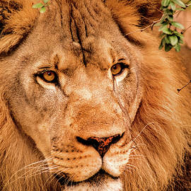 Look of a Lion by Don Johnson