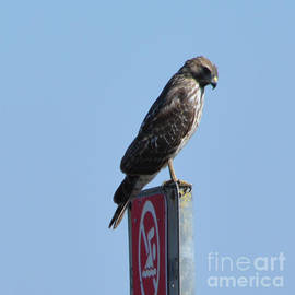 Broad Winged Hawk Looking Down  by Ruth  Housley