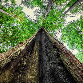 Looking Up a Redwood Tree by Stuart Litoff