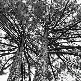 Carol Groenen - Looking Up at Two Trees - Black and White