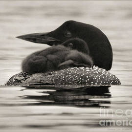 Loons, Father and Son Square by Sandra Huston