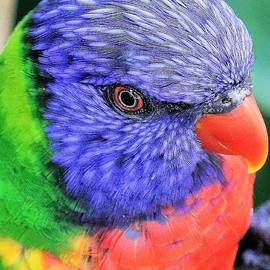 Lorikeet Portrait #1 by Diann Fisher