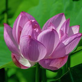 Lotus Beauty--buxom Beauty I Dl0089 by Gerry Gantt