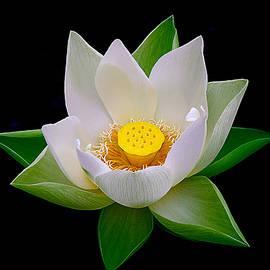 Lotus Blooming by Julie Palencia