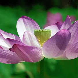 Lotus--center Of Being Vi Dl0086 by Gerry Gantt