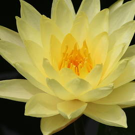 Eric Irion - Lotus flower Close up
