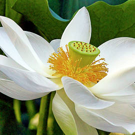Lotus FLower by Geraldine Scull
