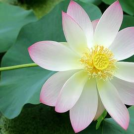Lotus on the Right by Sabrina L Ryan