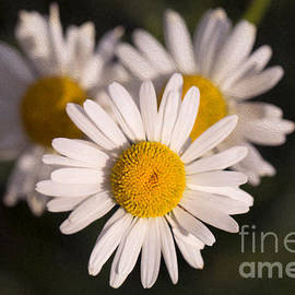 Love Triangle Methow Valley Flowers By Omashte by Omaste Witkowski
