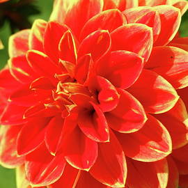 Christiane Schulze Art And Photography - Lovely Dahlia