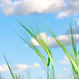Tom Gowanlock - Lovely image of young barley against an idyllic blue sky
