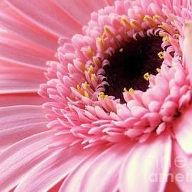 Kim Tran - Lovely Pink Gerbera #1