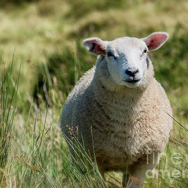 Frank Bach - Lovely sheep in free nature, Ireland