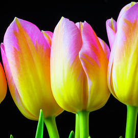 Lovely Yellow Pink Tulips - Garry Gay
