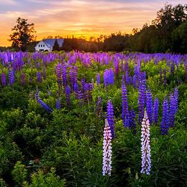 Shell Ette - Lupine Field Sunset