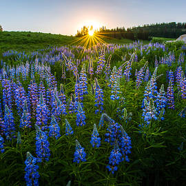 Dustin  LeFevre - Lupine Meadow