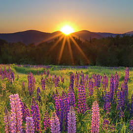 Chris Whiton - Lupine Sunrise Sugar Hill
