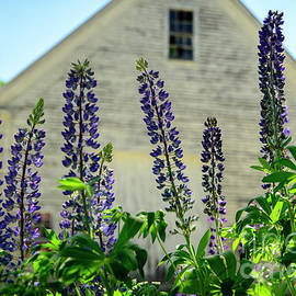 Alana Ranney - Lupines and White Barn