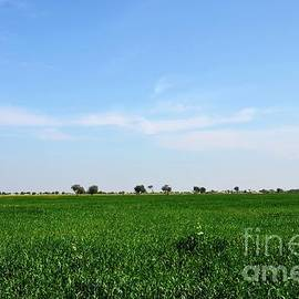 Lush green farm fields of rural Sindh Mirpurkhas Pakistan by Imran Ahmed