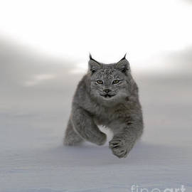 Wildlife Fine Art - Lynx on the Move
