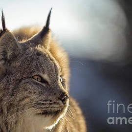 Wildlife Fine Art - Lynx