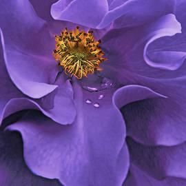 Macro Purple Rose Flower by Jennie Marie Schell