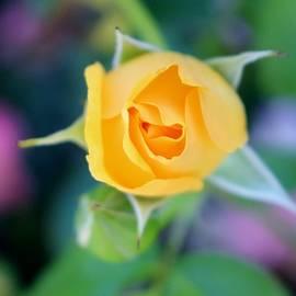 Cynthia Guinn - Macro Yellow Tea Rose