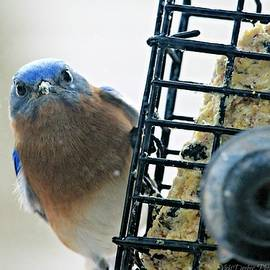 Vicki Dreher - Mad Bluebird