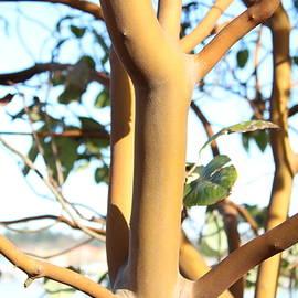 Madrona Tree Baby by Sherri Keene