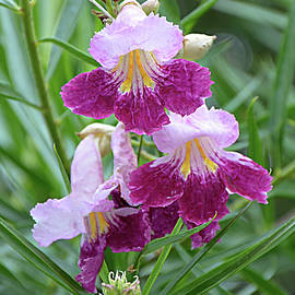 Desert Willow 2 by Isabela and Skender Cocoli