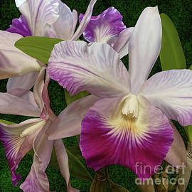 Magenta and White Orchids by Joseph Vittek