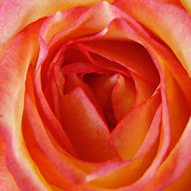 Magestic Pink Rose by Amy Dundon