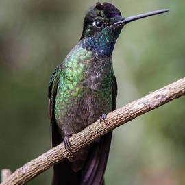 Magnificent Hummingbird 1 by Chris Scroggins