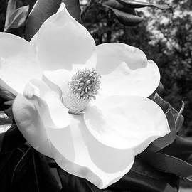 Magnolia Bloom- by Linda Woods - Linda Woods