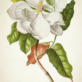 Magnolia Botanical Print - Aged Pixel