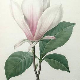 Pierre Joseph Redoute - Magnolia soulangiana