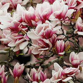 Carol F Austin - Pink Flowers Magnolia Spring Wall Art