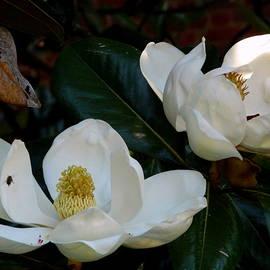 Magnolia Twins by Arlane Crump