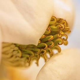 Magnolia by Vanessa Thomas