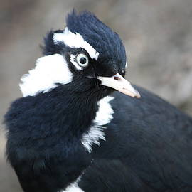 Magpie-Lark by Trudee Hunter