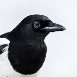 Torbjorn Swenelius - Magpie portrait