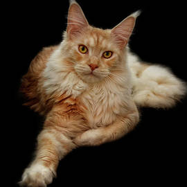 Claudia Moeckel - Maine coon lady