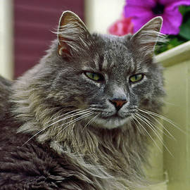 Maine Coon Portrait by Sally Weigand