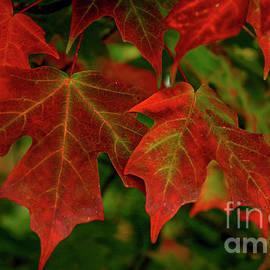 Reid Callaway - Majestic Red Fall Maple Leaves Art