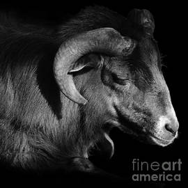 Majestic Sheep In Greyscale by Paul Davenport