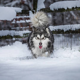 Malamute in the Snow by Ed Vaden