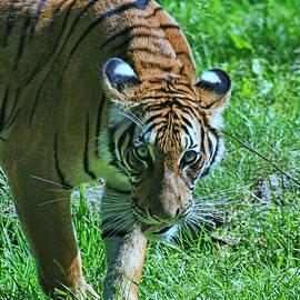 Allen Beatty - Malayan Tiger # 2